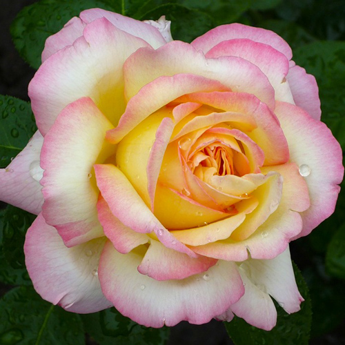 Розы парковые купить в краснодаре букет на свадьбу из красных роз