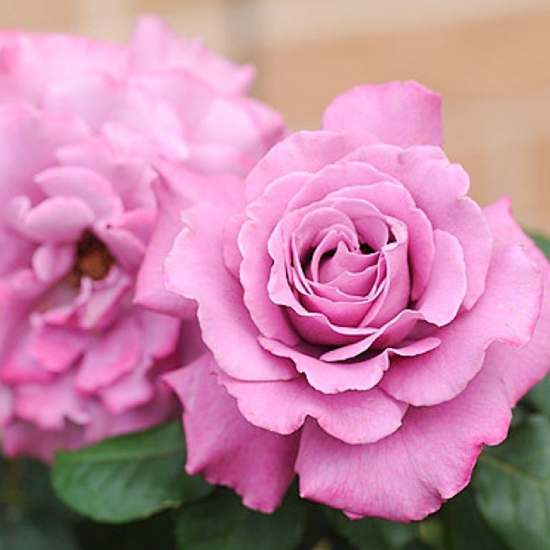 Парковые розы купить саженцы в спб букеты из шаров с доставкой во владивостоке