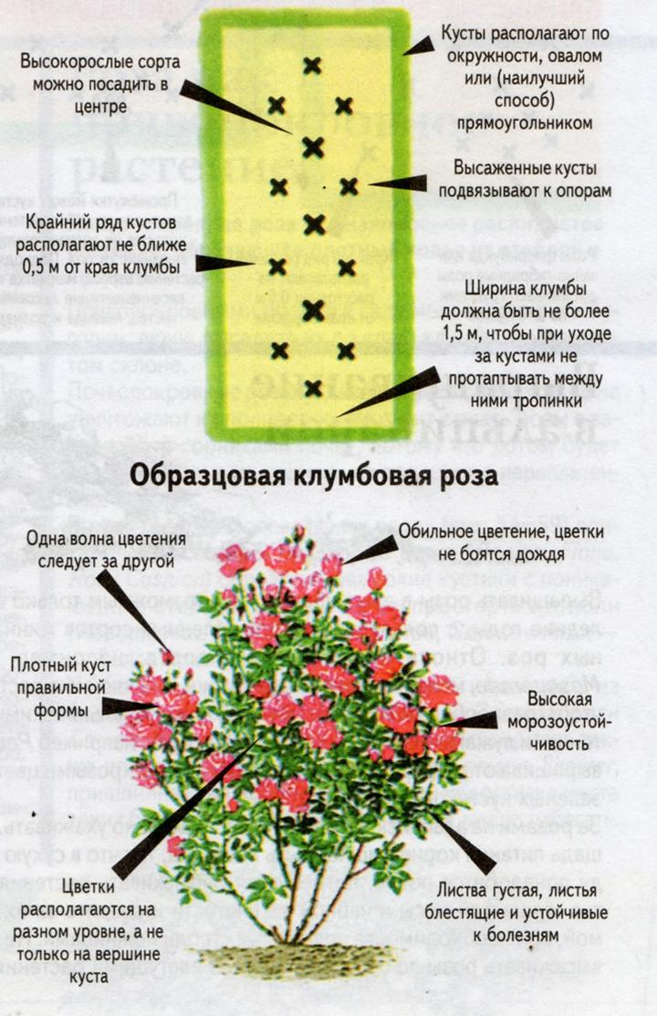 Что можно посадить рядом с розами: список подходящих цветов