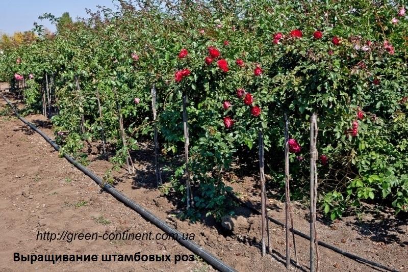Розы штамбовые выращивание 82