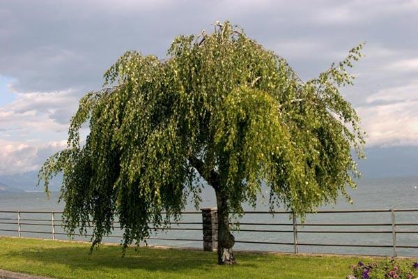 Березовый солонец декоративные деревья и кустарники