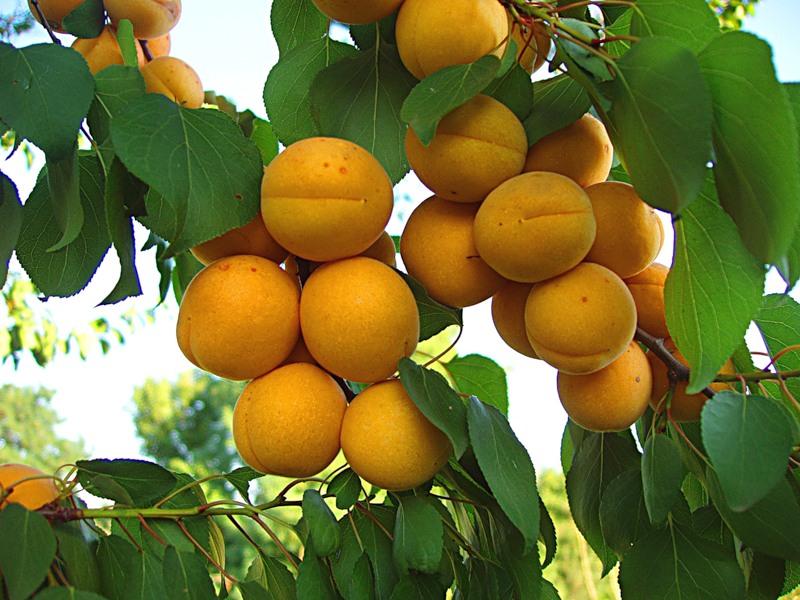 Посадка саженцев абрикоса.